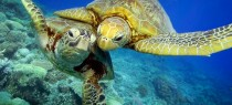 turtles_Great_Barrier_Reef_protofoto.ru_middle